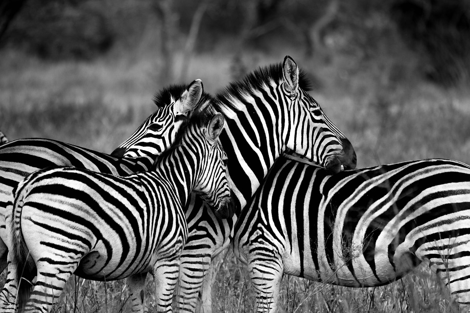 zebra-1141302_960_720